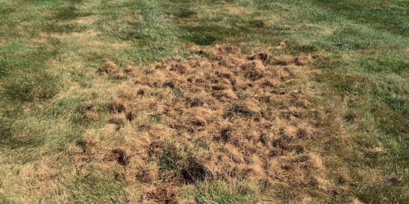 Lawn Grub