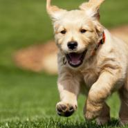 Happy puppy running through yard