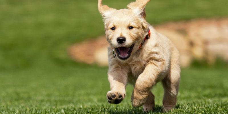Happy puppy running through yard
